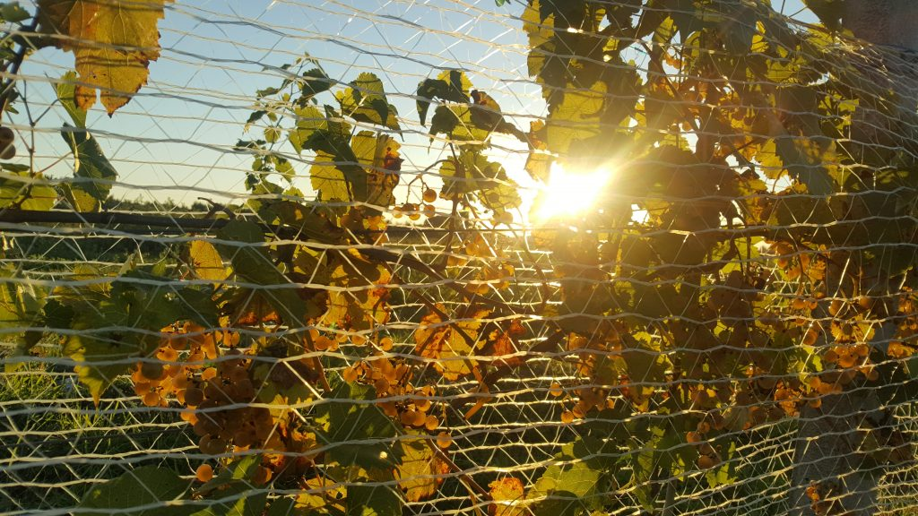 vineyard autumn sunshine